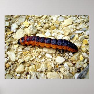 Goat Moth Caterpillar Poster
