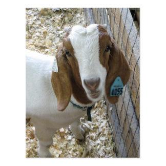 Goat Portrait Postcard