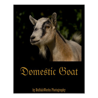 Goat Watching Poster