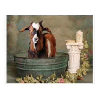 Goats need baths too postcard