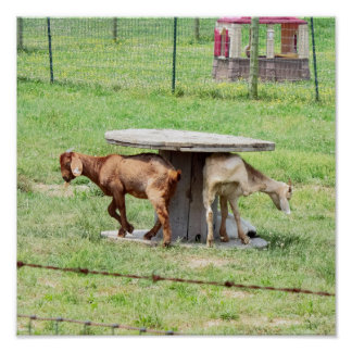Goats Photo Poster