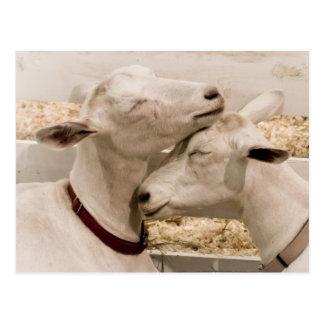 Goats Snuggling Postcard
