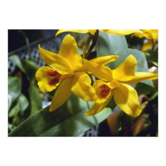 Gold Digger Laeliocattleya flowers Invites