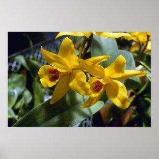 Gold Digger Laeliocattleya flowers Poster