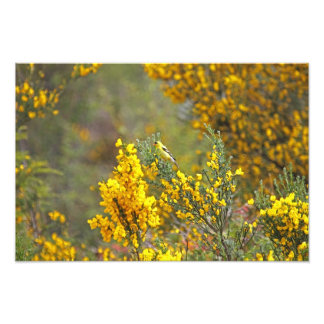 Gold Finch and Yellow Flowers Photograph