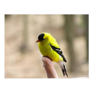 Gold Finch on My Finger Postcard