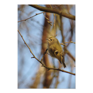 Goldcrest Perched Photo Print