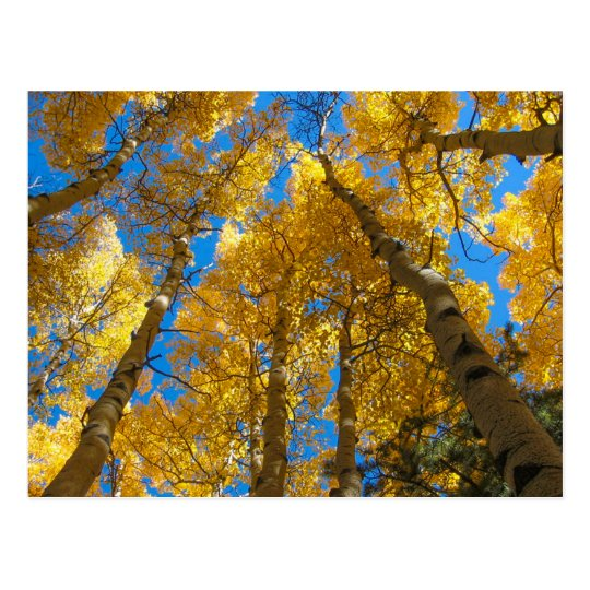Golden Aspen Near Estes Park Colorado Postcard