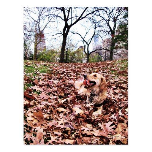 """Golden Autumn"" Golden Retriever in Central Park Post Card"