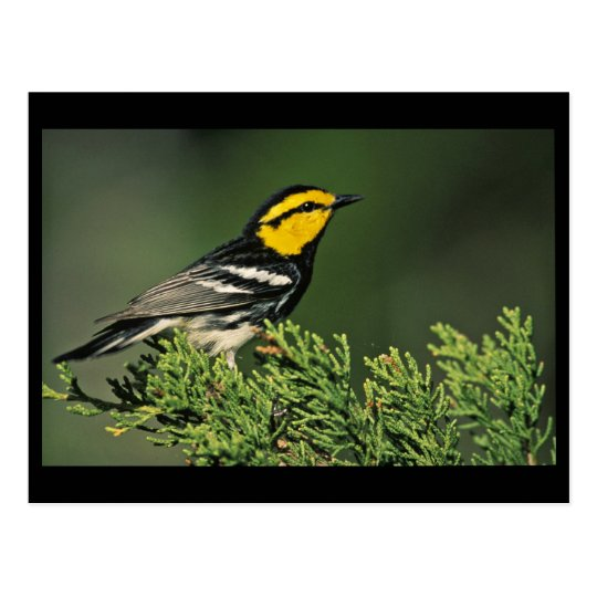 Golden-Cheeked Warbler Postcard