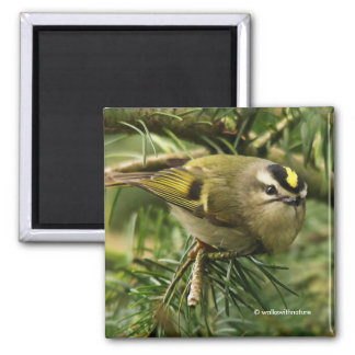 Golden-Crowned Kinglet Causes a Stir in the Fir Square Magnet