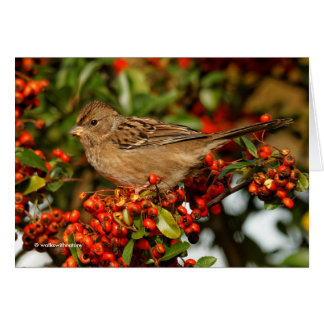 Golden-Crowned Sparrow on the Scarlet Firethorn Card