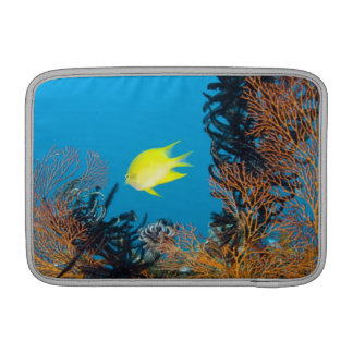 Golden Damselfish (Amblyglyphidodon aureus) MacBook Sleeve