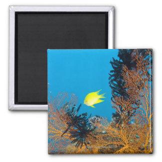 Golden Damselfish (Amblyglyphidodon aureus) Magnet