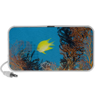 Golden Damselfish (Amblyglyphidodon aureus) Travelling Speakers