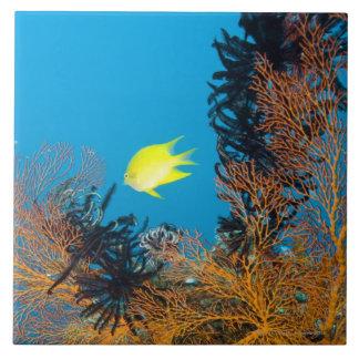 Golden Damselfish (Amblyglyphidodon aureus) Tile