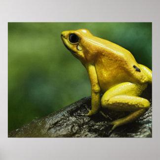 Golden Dart Frog Poster