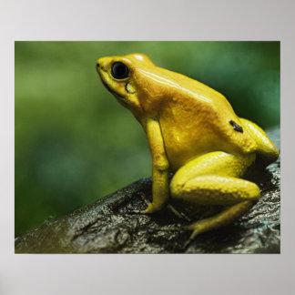 Golden Dart Frog Print