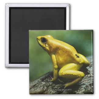 Golden Dart Frog Square Magnet