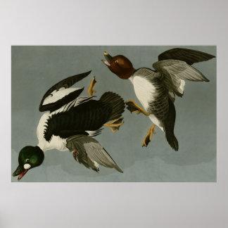 Golden Eye Duck Poster