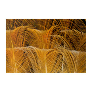 Golden Feather Abstract Acrylic Print