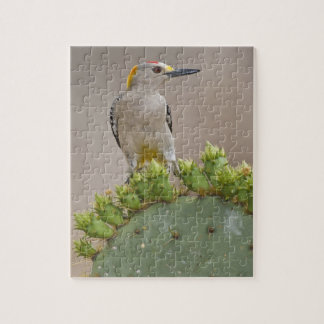 Golden-fronted Woodpecker adult male perched Jigsaw Puzzle