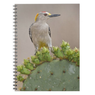 Golden-fronted Woodpecker adult male perched Notebooks