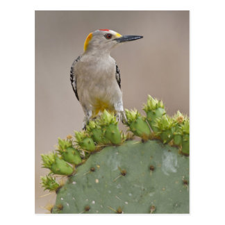 Golden-fronted Woodpecker adult male perched Postcard