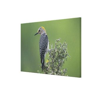 Golden-fronted Woodpecker, Melanerpes 2 Canvas Print