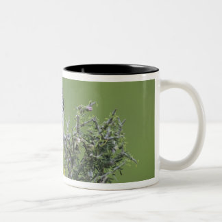 Golden-fronted Woodpecker, Melanerpes 2 Two-Tone Coffee Mug