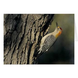 Golden-fronted Woodpecker, Melanerpes Card