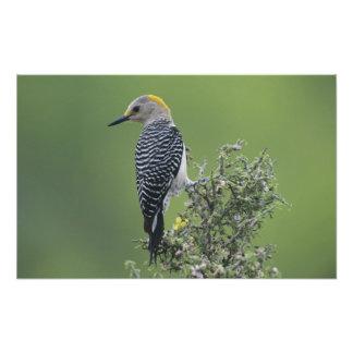 Golden-fronted Woodpecker, Melanerpes Photograph