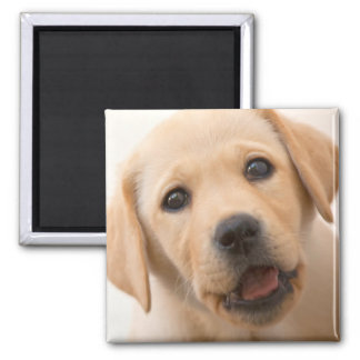 Golden Labrador Puppy (8 Months Old) Square Magnet
