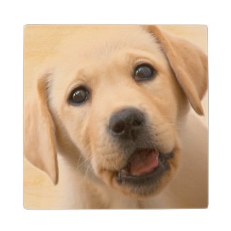Golden Labrador Puppy (8 Months Old) Wood Coaster