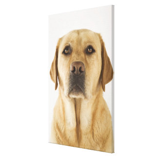 Golden Labrador Retriever (Canis familiaris). Canvas Print