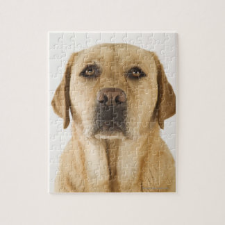 Golden Labrador Retriever (Canis familiaris). Jigsaw Puzzle