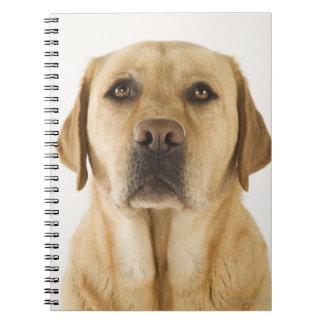 Golden Labrador Retriever (Canis familiaris). Notebooks