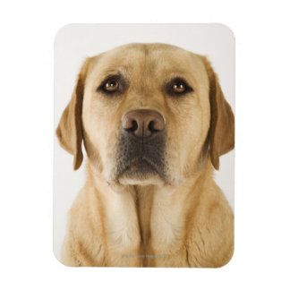 Golden Labrador Retriever (Canis familiaris). Rectangular Photo Magnet
