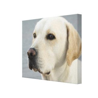 Golden Labrador Retriever Photograph Canvas Print