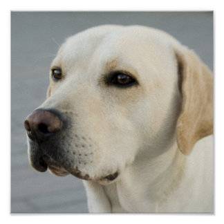 Golden Labrador Retriever Photograph Poster