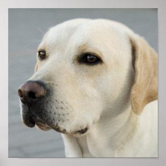Golden Labrador Retriever Photograph Poster