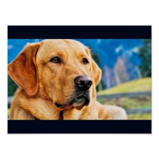 Golden Labrador Retriever Poster