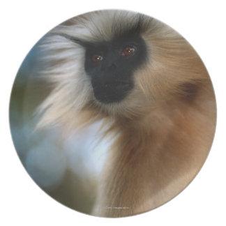 Golden langur (Prebytis geei) close up, Manas Plate