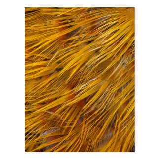 Golden Pheasant Feathers Close Up Postcard