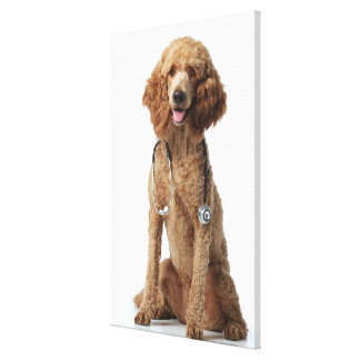 Golden Poodle Dog wearing a stethoscope Canvas Print