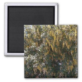 Golden Rain Tree 1 Magnet