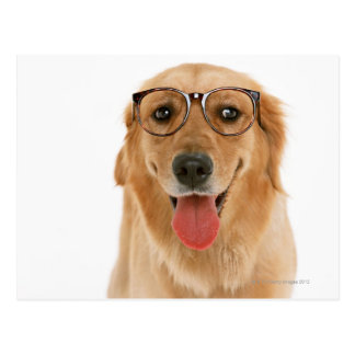 Golden Retriever 3 Postcard