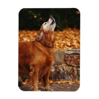 Golden retriever dog howling on path rectangular magnet