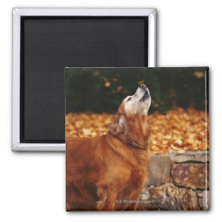 Golden retriever dog howling on path square magnet