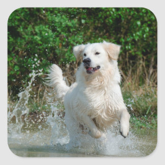 Golden Retriever dog lovers photo square stickers